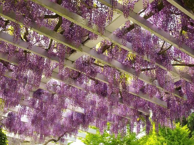 垂れし春の香り