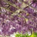 Photos: 垂れし春の香り