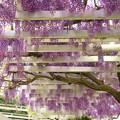 丘に咲く2色の藤