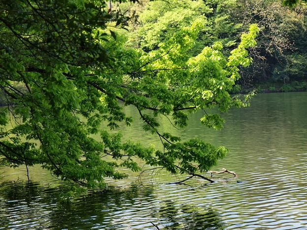 水辺の新緑