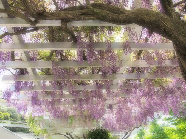 垂れし藤の花