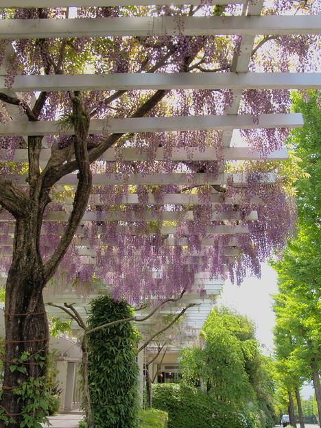 藤棚と新緑の季節