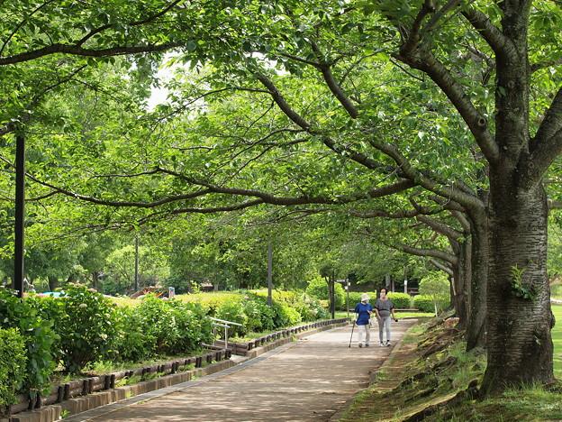 緑葉に満ちた桜並木