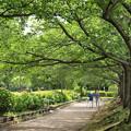 Photos: 緑葉に満ちた桜並木