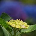 青紫陽花、さあ~どうーぞ ♪