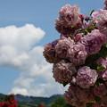 雲と薔薇と初夏の青空と
