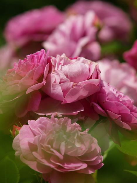 薔薇とバラの日々
