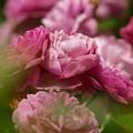 Photos: 薔薇とバラの日々