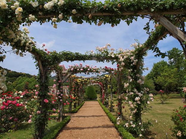 Photos: 薔薇のアーチの透視法