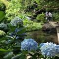 Photos: アジサイ咲くせせらぎの小径