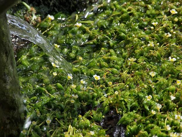 湧水に戦ぐ梅花藻