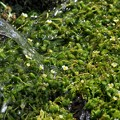 Photos: 湧水に戦ぐ梅花藻
