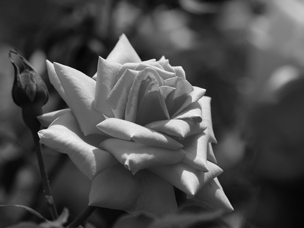 光と影、春の薔薇に
