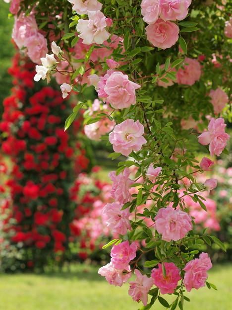 垂れる春薔薇