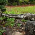 キバナコスモス咲く山中城址