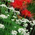 Photos: 彼岸花とセセリン