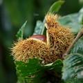 Photos: 栗の実を食べたパックマン