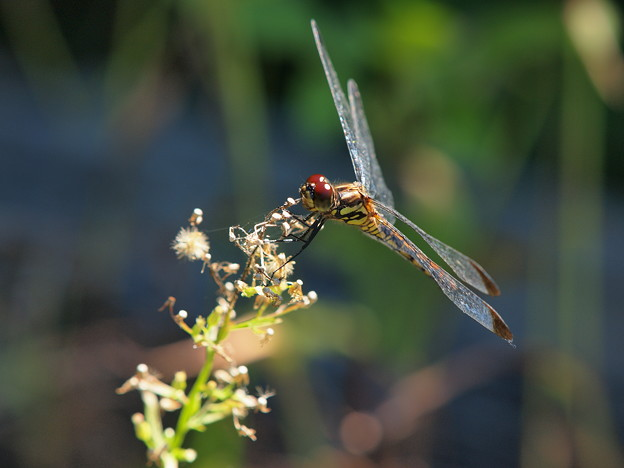 蜻蛉飛行はひと休み