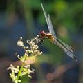 Photos: 蜻蛉飛行はひと休み