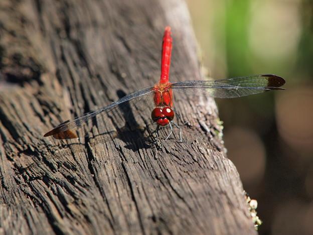 蜻蛉のメガネは…