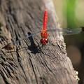 Photos: 蜻蛉のメガネは…