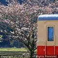 Photos: キハと桜