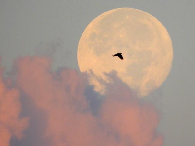 Photos: 朝焼けの雲に沈む満月