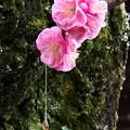 Photos: 天神さんの紅梅(2)と樹液