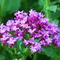 Photos: 自宅庭の花 ? ※ライラックでは ないようです。