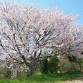 喫茶カレンの桜