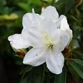自宅庭、一番咲きのツツジ