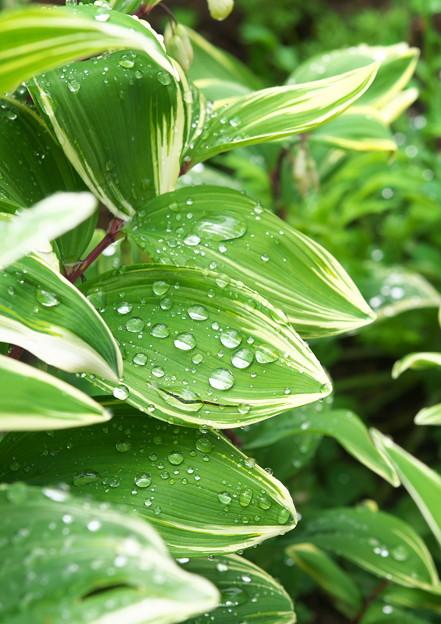 自宅庭、雨上がりのナルコユリ(1)