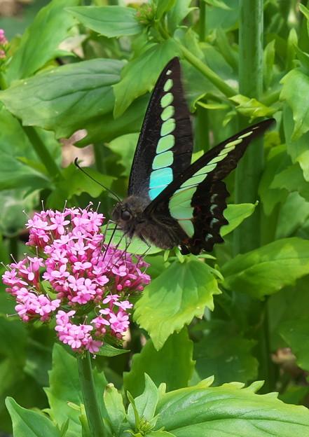 自宅庭、花と蝶(1)
