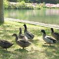 都万、水鳥公園(7)広場を歩くカモたち