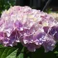 自宅庭のアジサイ(2)ピンクアナベル