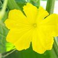 自宅庭、ミニ菜園のキュウリの花
