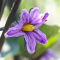 自宅庭、ミニ菜園のナスビの花