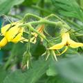 自宅ミニ菜園、トマトの花