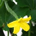 自宅ミニ菜園、キュウリの花と赤ちゃん