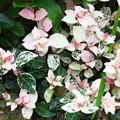 Photos: 自宅玄関前庭のハツユキカズラ