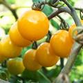 自宅東庭、ミニ菜園のミニトマト(3)