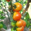 自宅東庭、ミニ菜園のミニトマト(4)