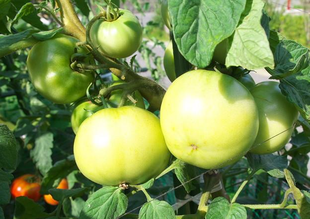 自宅東庭、ミニ菜園のトマト・桃太郎(1)