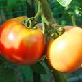 Photos: 自宅東庭、ミニ菜園のトマト・桃太郎(2)