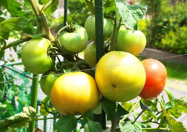 自宅東庭、ミニ菜園のトマト・桃太郎