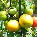 Photos: 自宅東庭、ミニ菜園のトマト・桃太郎