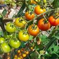 自宅東庭、ミニ菜園のミニトマト