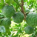 妻実家の青い大柚子
