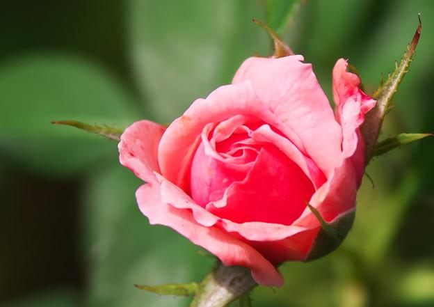 妻実家のバラ