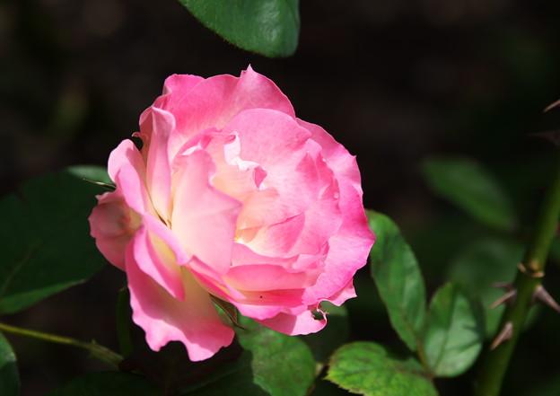 妻実家のバラ(2)